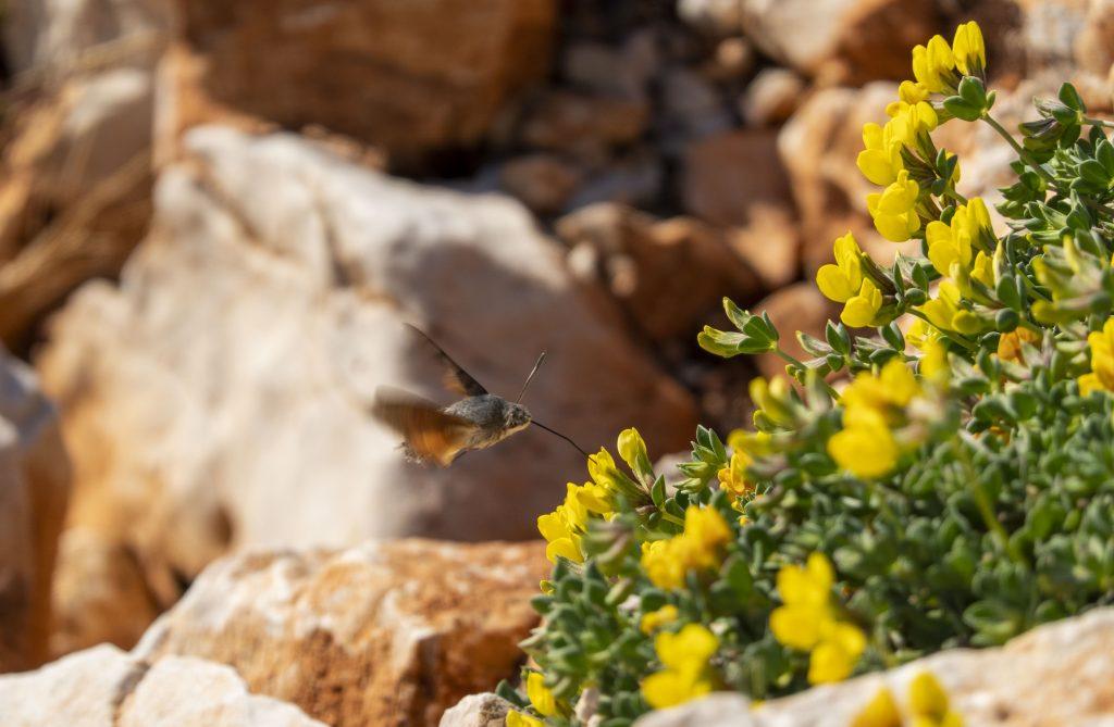 Kolibrievlinder Ksamil Albanie